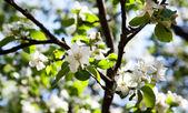 Apple-tree blossom — Stock Photo