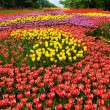 Tulips flower bed — Stock Photo