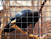 Raven in cage — Stock Photo