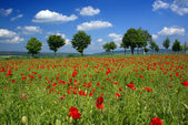 A field of red poppies — Stock Photo