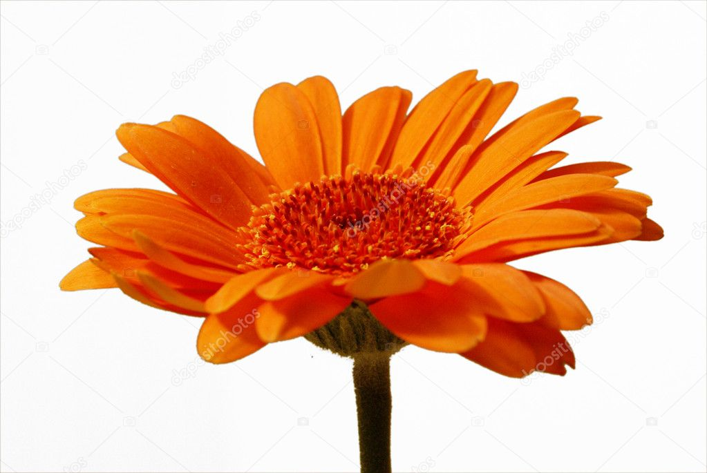 Isolated orange gerbera flower on a white background.  Stock Photo #8880126