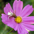 Crab spider on cosmos flower — Stock Photo