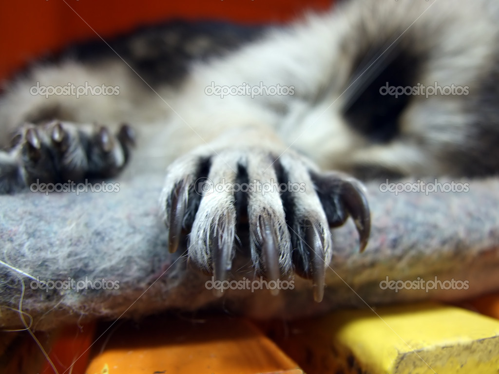 Sleeping Raccoons Paw With Bigg Claws — Stock Photo #8894557