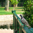 Pigeon on a handrail — Stock Photo