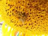 Pszczoła na słonecznik — Zdjęcie stockowe