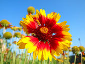 Red-yellow flower — Stock Photo
