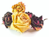 The isolated red and yellow roses — Stock Photo