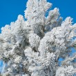 Stock Photo: Hoarfrost on pine