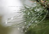 Water drop on pine needles — Stock Photo