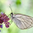 Butterfly in natural habitat (aporia crataegi) - Stockfoto