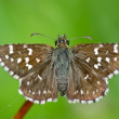 Butterfly in natural habitat (pyrgus malvae) - Stock Photo