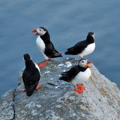 Puffin standing on a grassy cliff (fratercula arctica) — Stock Photo
