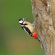 Woodpecker (Picoides Pubescens) — Stock Photo