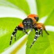 Red spider on leaf (eresus cinnaberinus) - 图库照片