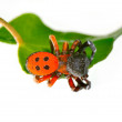 Red spider on leaf (eresus cinnaberinus) - Foto Stock