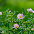 Stock Photo: Dog rose Roscaninflowers