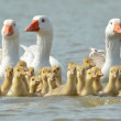 Geese on the lake — Stock Photo