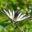 Butterfly in natural habitat (scarce swallowtail) — Stock Photo #10728946