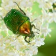 Bug on green leaf - Foto Stock