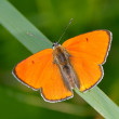 Butterfly in natural habitat (lycaena dispar) - 图库照片