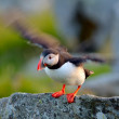 Puffin flying (fratercula arctica) — Stock Photo