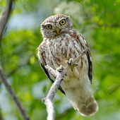 The little owl in natural habitat (Athene noctua) — Stock Photo
