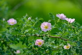 Dog rose Rosa canina flowers — Stock Photo
