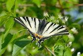 Motyl w naturalnym środowisku (żeglarz) — Zdjęcie stockowe