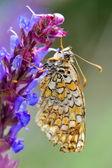 Butterfly in natural habitat (melitaea phoebe) — Stock Photo