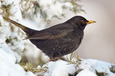 Blackbird in natural habitat (turdus merula) — Stock Photo