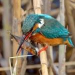 Kingfisher (alcedo atthis) — Stock Photo #9038774