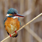 Kingfisher (alcedo atthis) — Stock Photo #9038786
