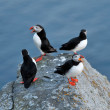 Puffin (fratercula arctica) — Stock Photo
