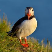 Puffin standing on grassy cliff (fratercula arctica) — Foto Stock