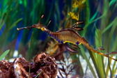 Sea dragon — Stock Photo