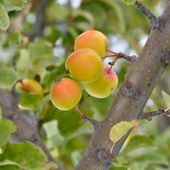 Apples in the tree — Foto de Stock