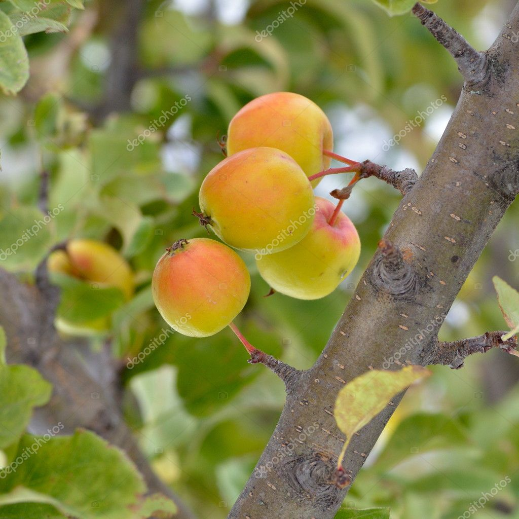 Apples on branch — Stock Photo #9041645