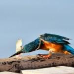 Kingfisher (alcedo atthis) — Stock Photo #9550578
