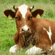 Cow resting on green grass — Stock Photo #10568057