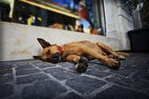 Dog lieing — Stock Photo
