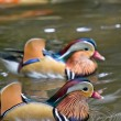 Stock Photo: Mandarin ducks