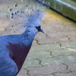 Crowned Pigeon - Stock Photo