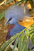 Crowned Pigeon — Stock Photo