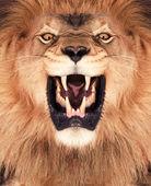 Lion King — Stock Photo