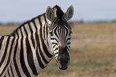Portrait of Burchells zebra — Stock Photo