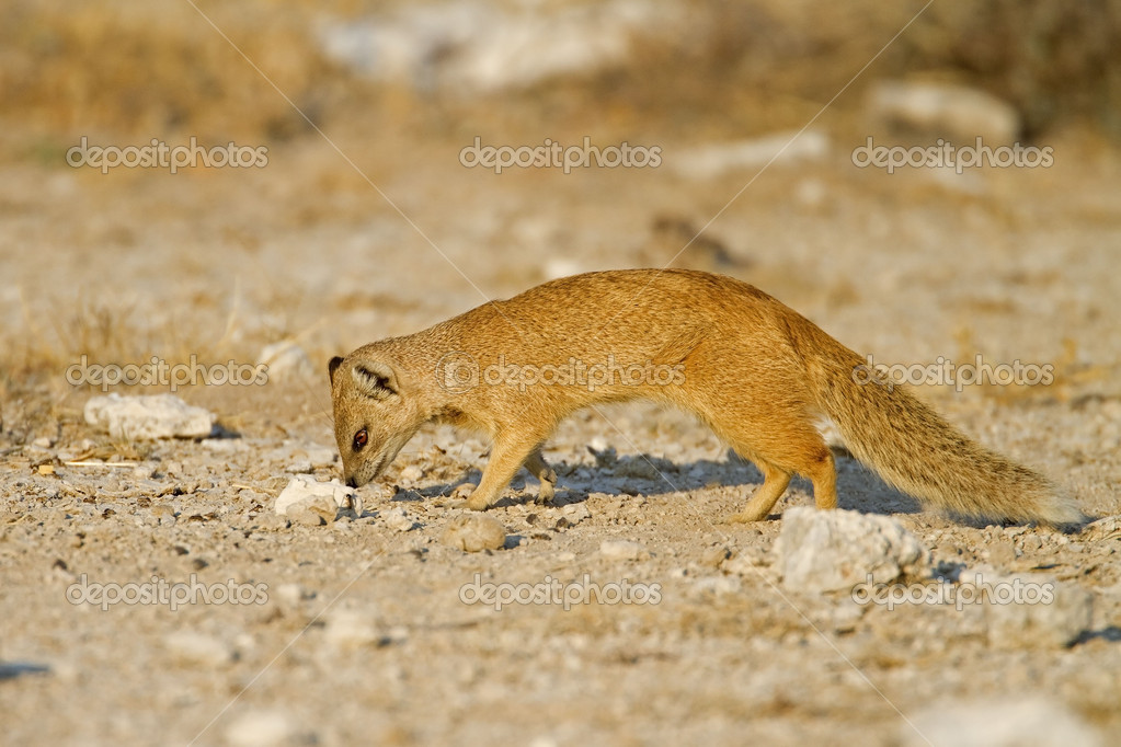 Yellow Mongoose searching for food; Cynictis Penicillata — Stock Photo #10060649