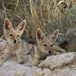 Two black- backed Jackal babys — Stock Photo #8976331