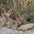 Stock Photo: Two black- backed Jackal babys