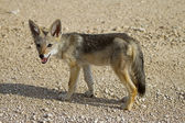 Baby black- backed Jackal — Stock Photo