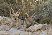 Two black- backed Jackal babys — Stock Photo